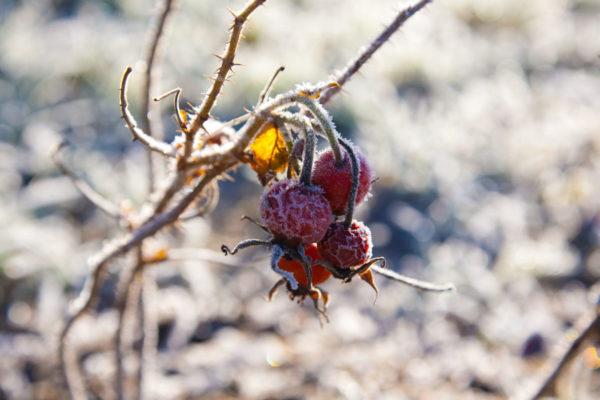 Eine Wildrose im Frost