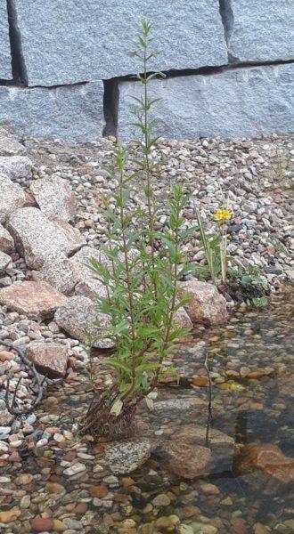 Einige kleine Uferpflanzen - ein Experiment